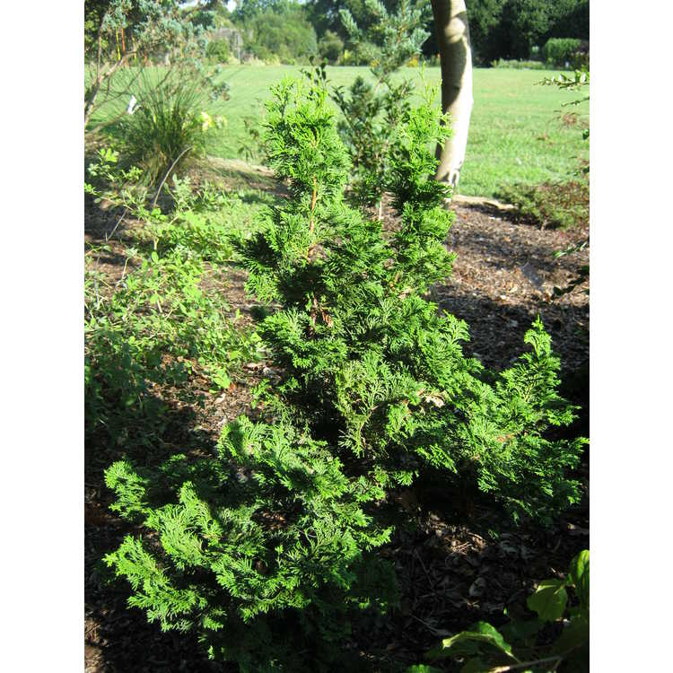 Chamaecyparis obtusa 'Vokel's Upright' - upright dwarf Hinoki cypress