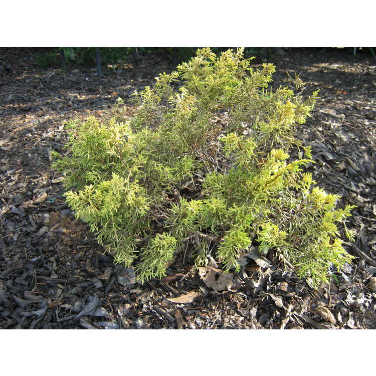 Juniperus chinensis 'Shimpaku Gold'