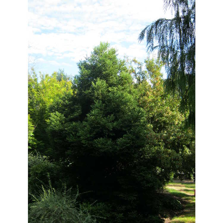 Cryptomeria japonica 'Giokumo' - Japanese-cedar