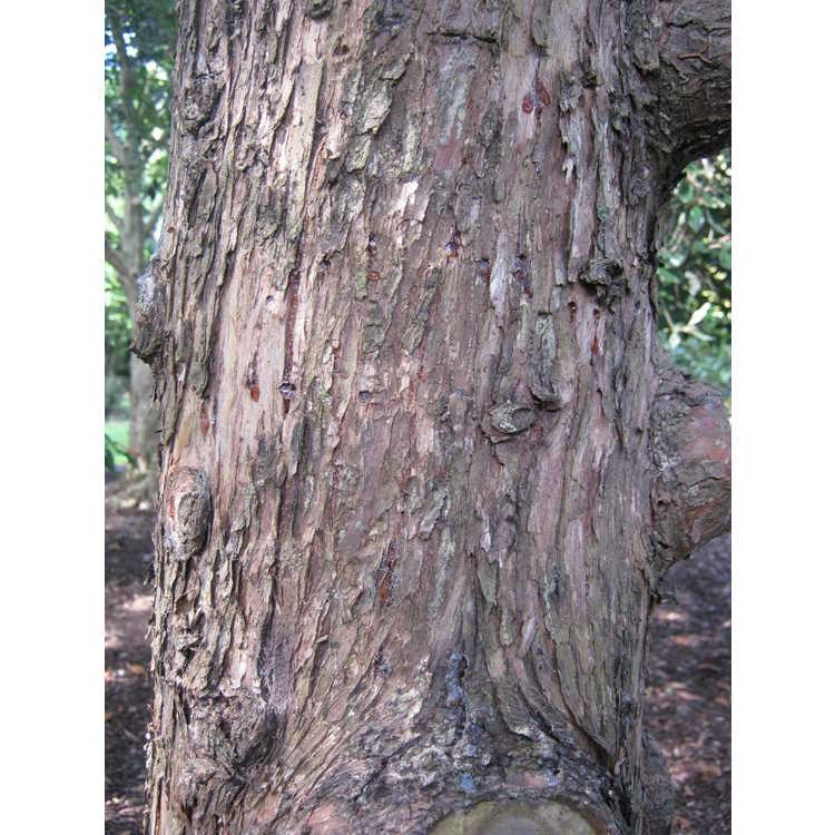 Cupressus darjeelingensis - Benghal cypress