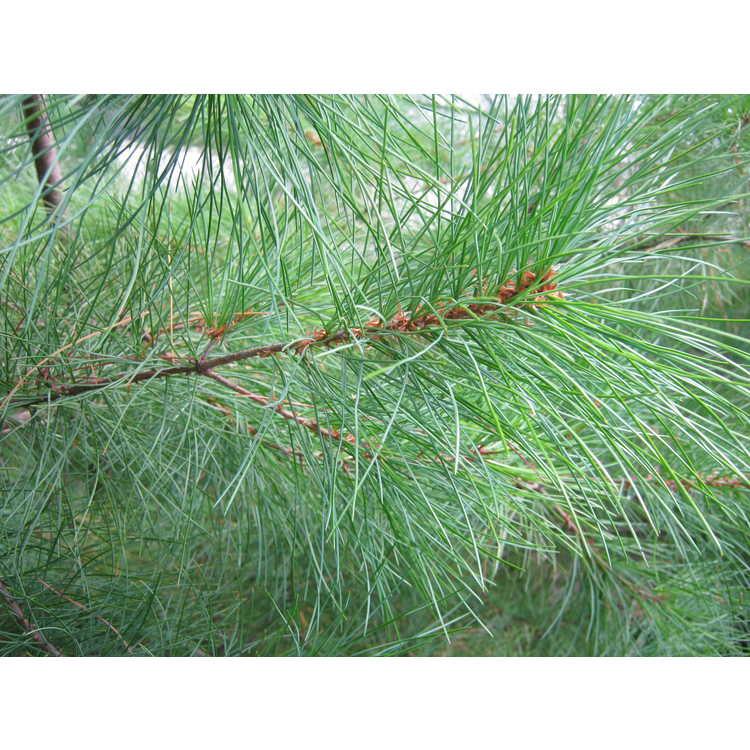 Pinus morrisonicola - Taiwan white pine
