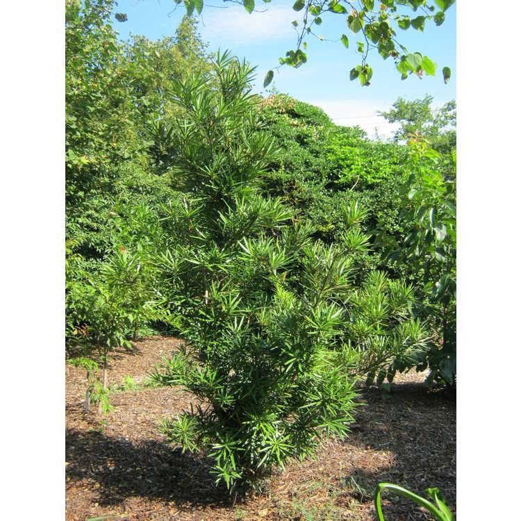 Podocarpus macrophyllus var. maki 'Edgefield'