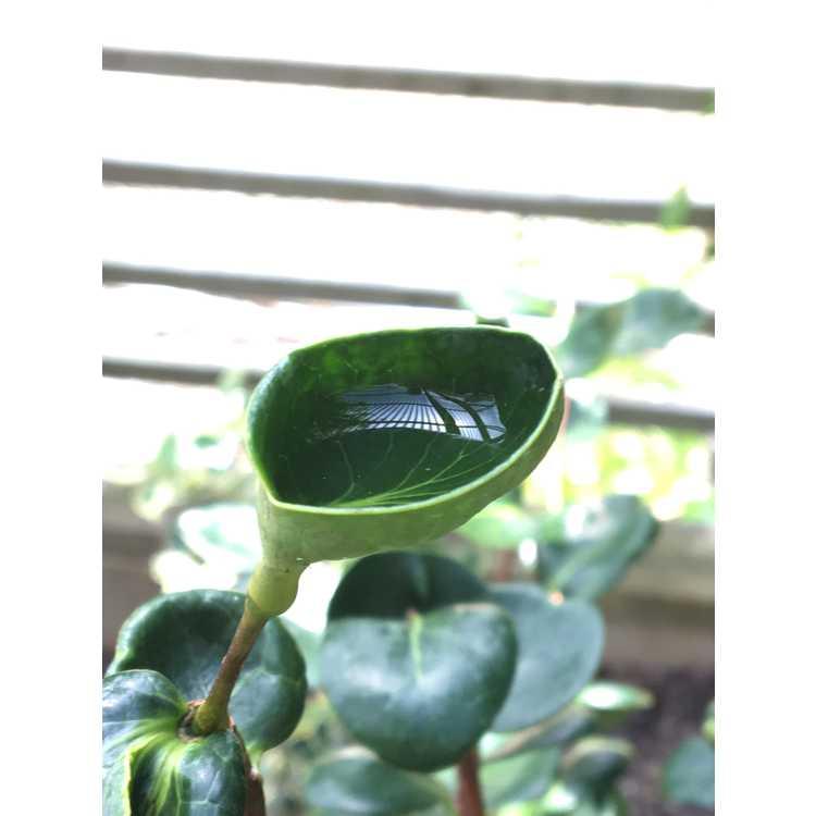 Camellia japonica var. decumbens 'Madoka'