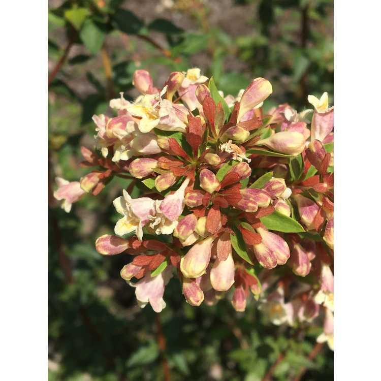 Abelia ×grandiflora 'Minduo1' - Sunny Anniversary glossy abelia