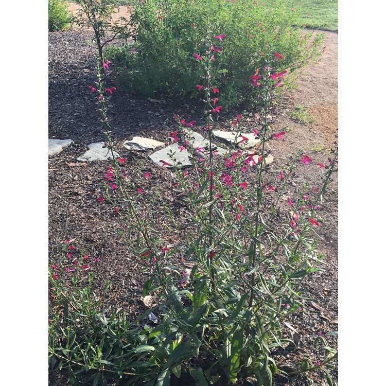 Salvia penstemonoides - big red sage