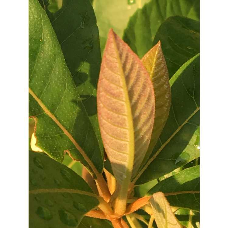 Clethra pringlei