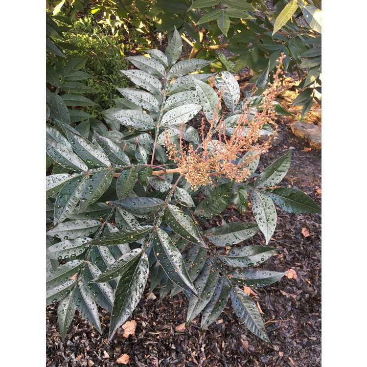 Rhus copallina latifolia Lanham Purple