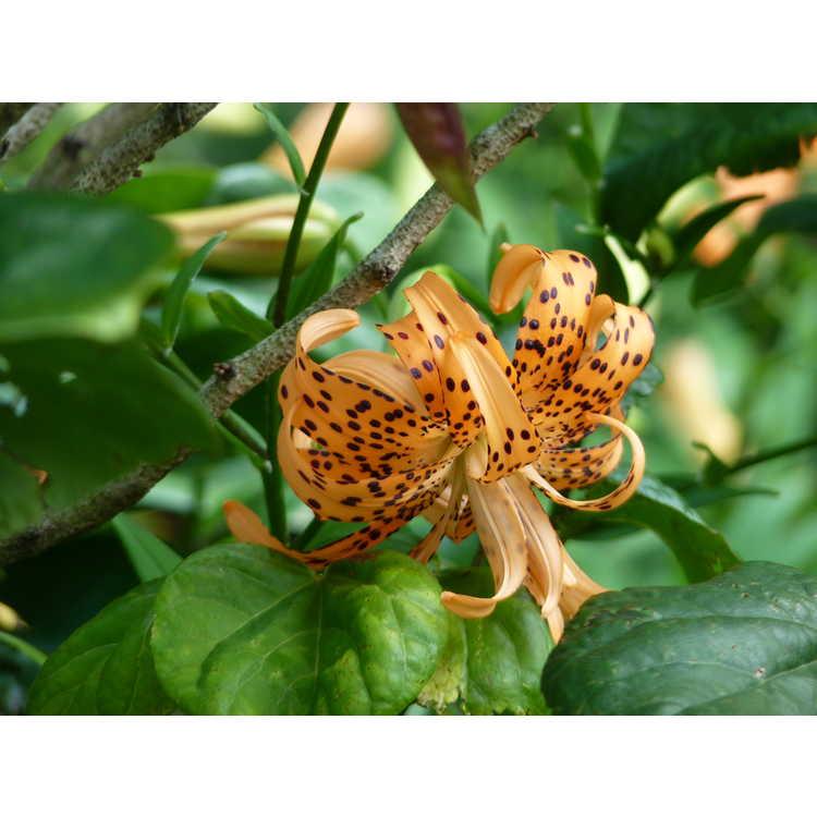 Lilium lancifolium 'Flore Pleno' - double tiger lily