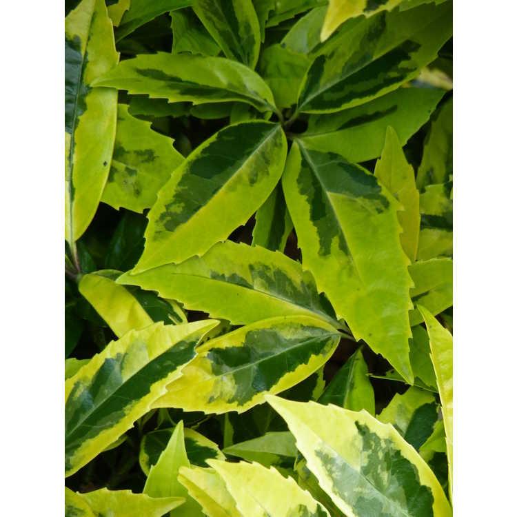 Aucuba japonica 'Sulphurea Marginata'