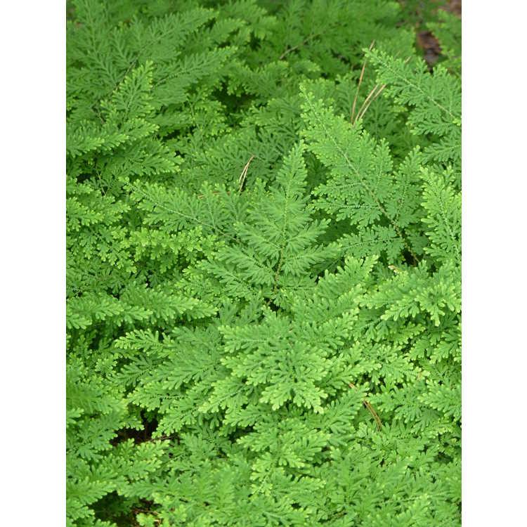 Selaginella braunii - arborvitae fern