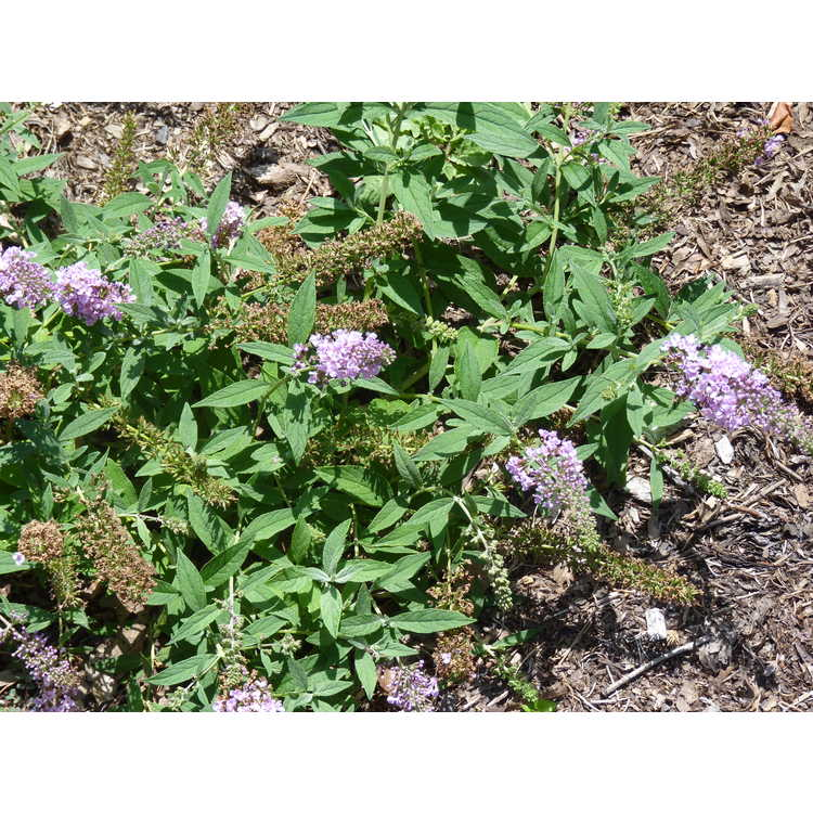 Buddleja 'Lilac Chip Jr' - Lo & Behold dwarf butterfly-bush