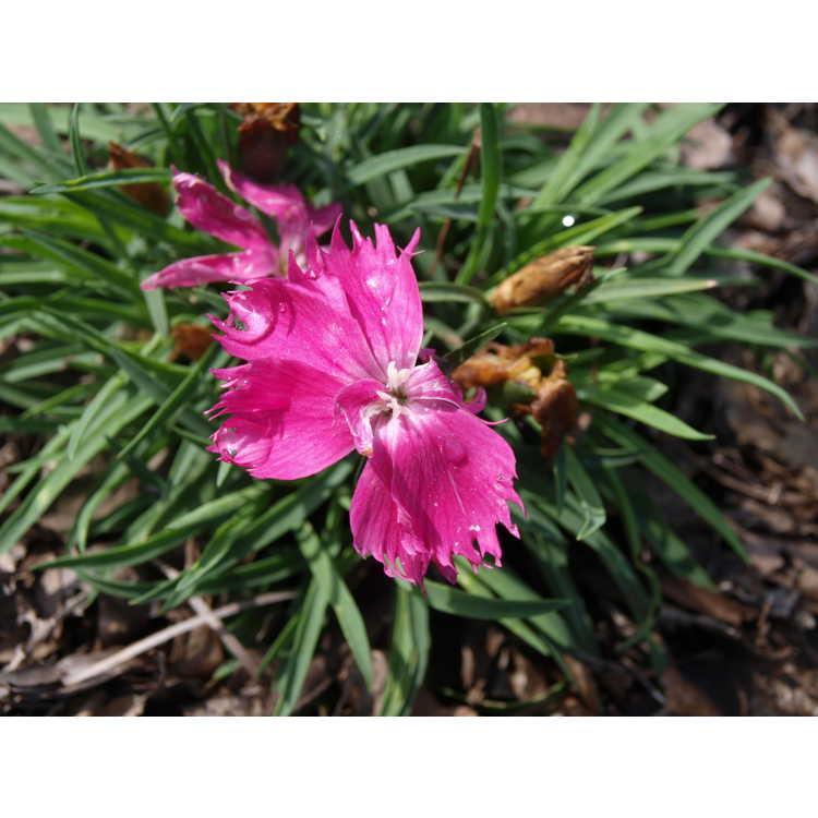 Dianthus Hilbeanaom Beauties Naomi