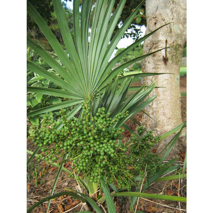 Sabal minor - dwarf palmetto