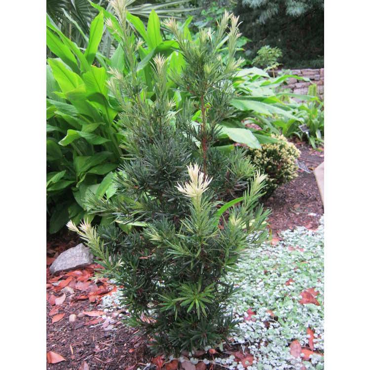 Podocarpus macrophyllus 'Okina'