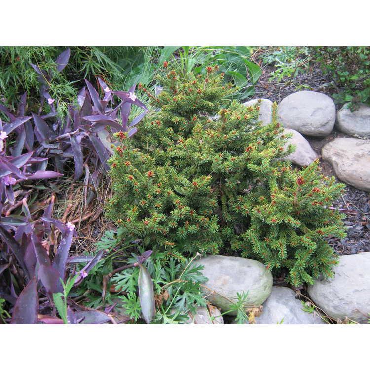 Picea orientalis 'Nana' - dwarf Caucasian spruce