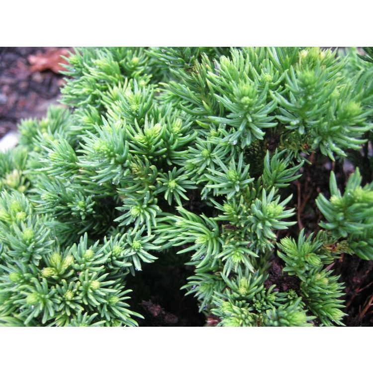 Cryptomeria japonica 'Spg-3-005'