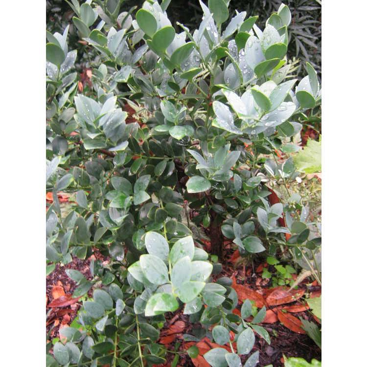 Nageia nagi (white streaked) - variegated nagi