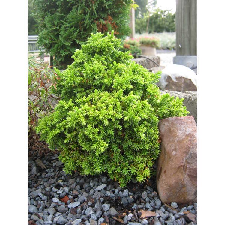 Cryptomeria japonica 'Tsukumo' - miniature Japanese-cedar