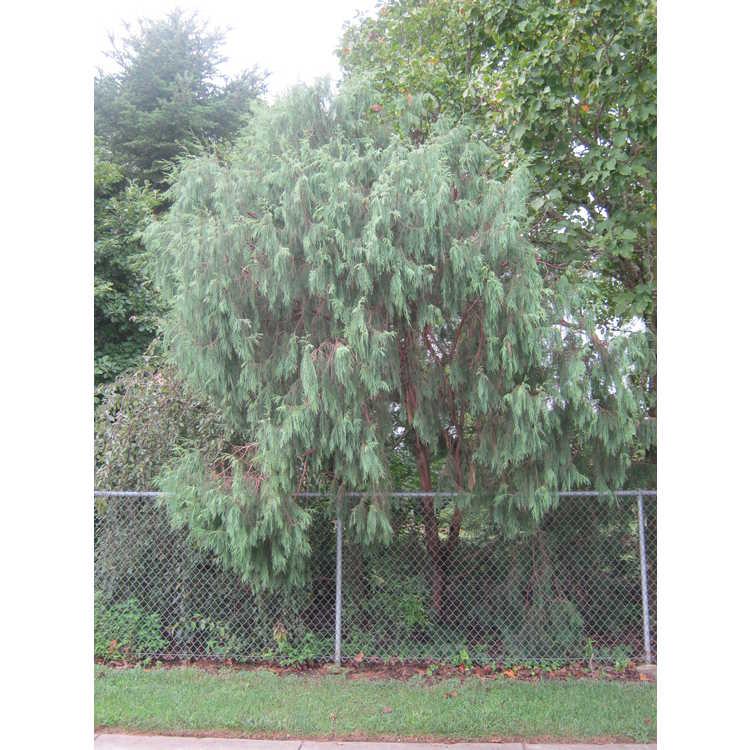 Juniperus flaccida