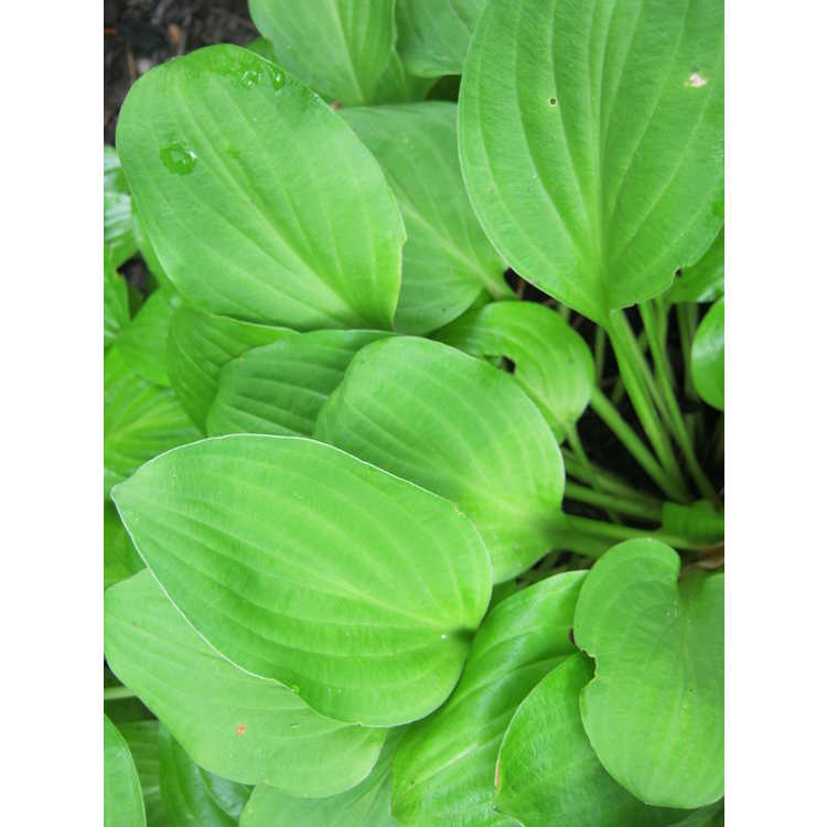 Hosta 'Gold Edger'