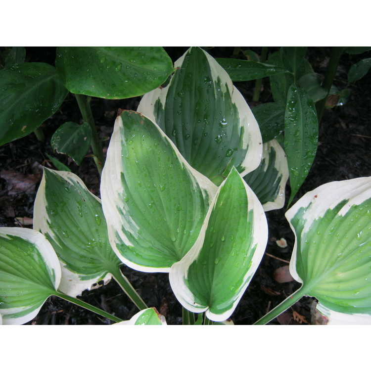 Hosta 'Broad Band' - hosta
