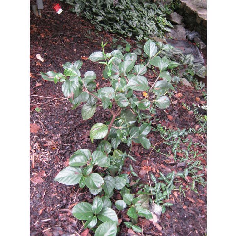 Viburnum japonicum 'Superbum' - large-flowered Japanese viburnum