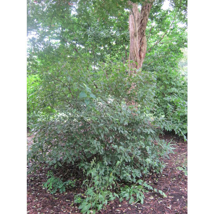 Viburnum rufidulum (Superior Trees) - rusty blackhaw
