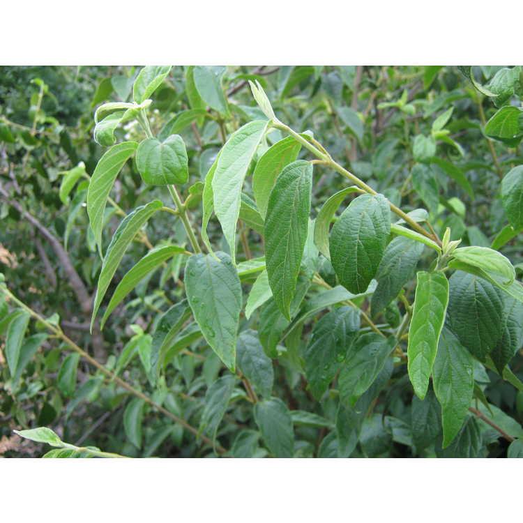 Viburnum luzonicum var. oblongum