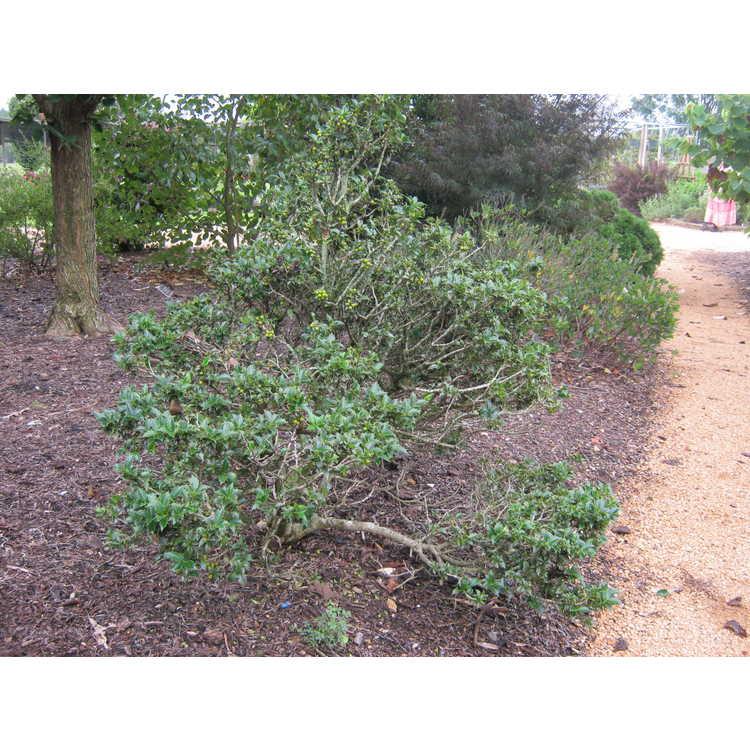 Ilex 'Rock Garden' - dwarf holly