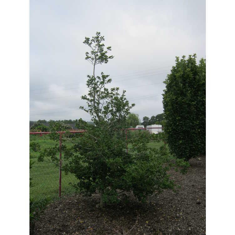 Ilex opaca 'Royal Flush' - variegated American holly
