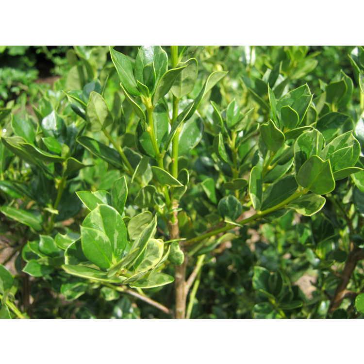 Ilex cornuta ('Willowleaf' variegated)