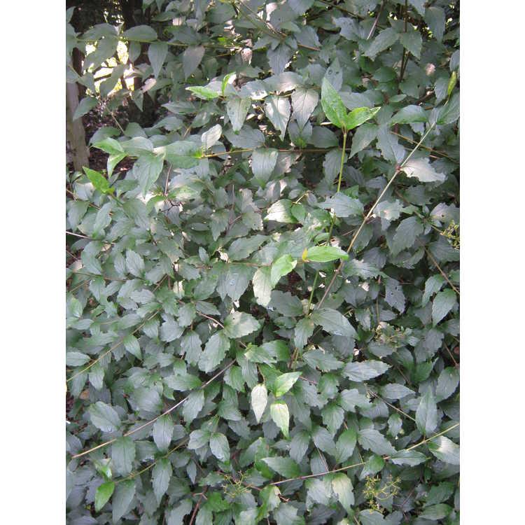 Viburnum ashei