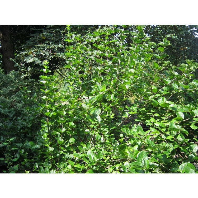 Viburnum bracteatum - bracted viburnum