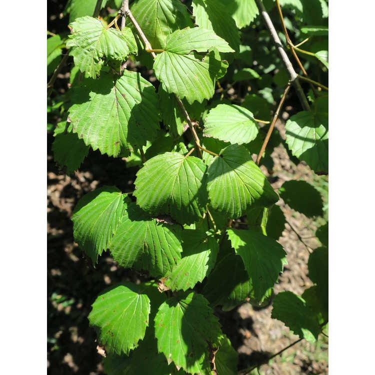 Viburnum dentatum 'J. N. Select' - Red Feather Southern arrowwood