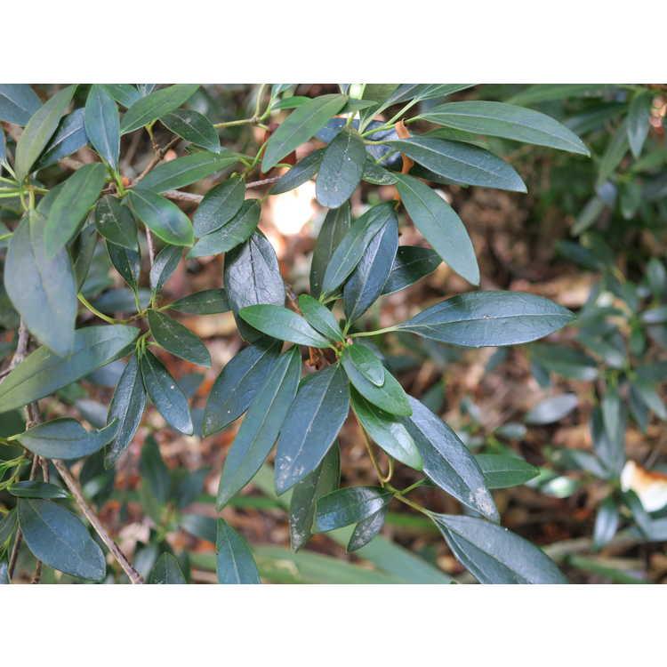 Viburnum propinquum