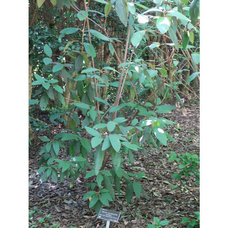 Viburnum ×rhytidophylloides 'Interduke' - Dart's Duke lantanaphyllum viburnum