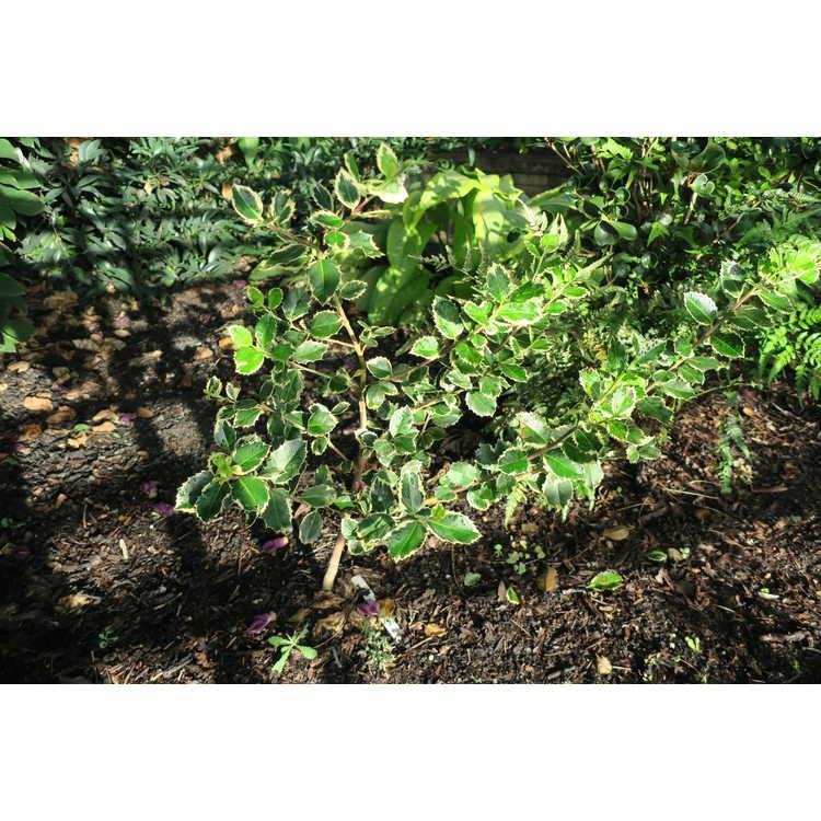 Ilex aquifolium 'Peter Gentling'