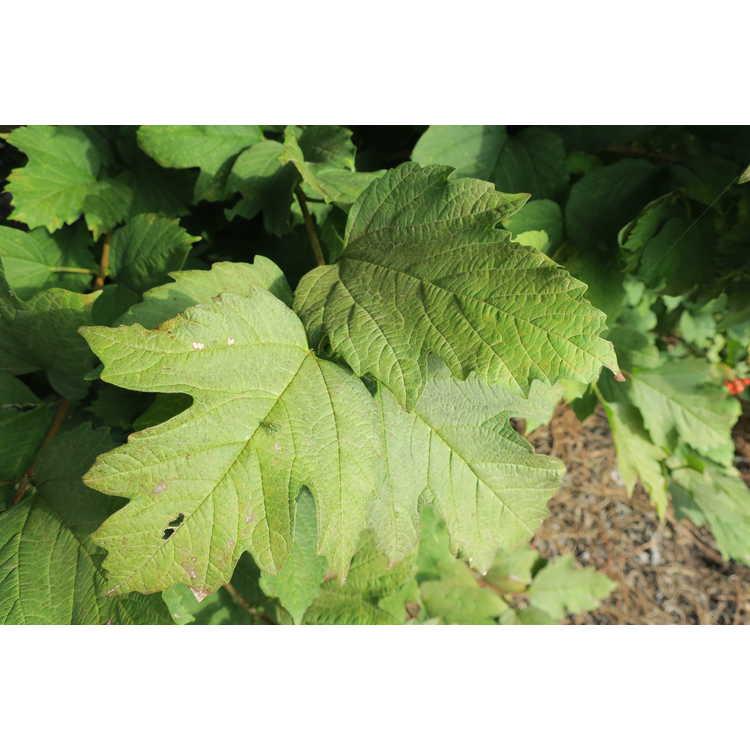Viburnum orientale