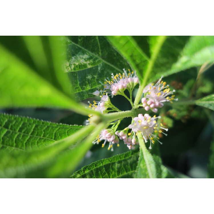 Callicarpa americana Berries and Cream