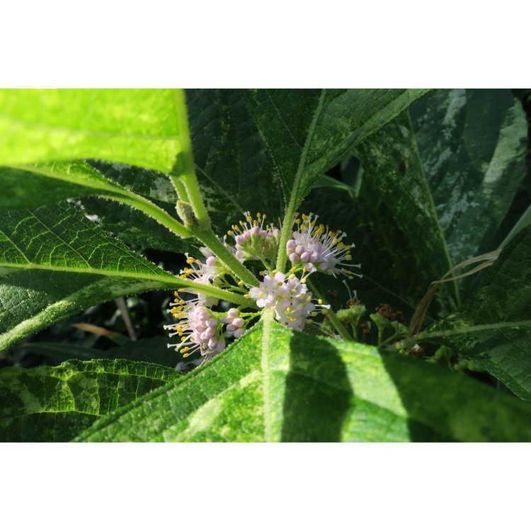 Callicarpa americana 'Berries and Cream' - variegated American beautyberry