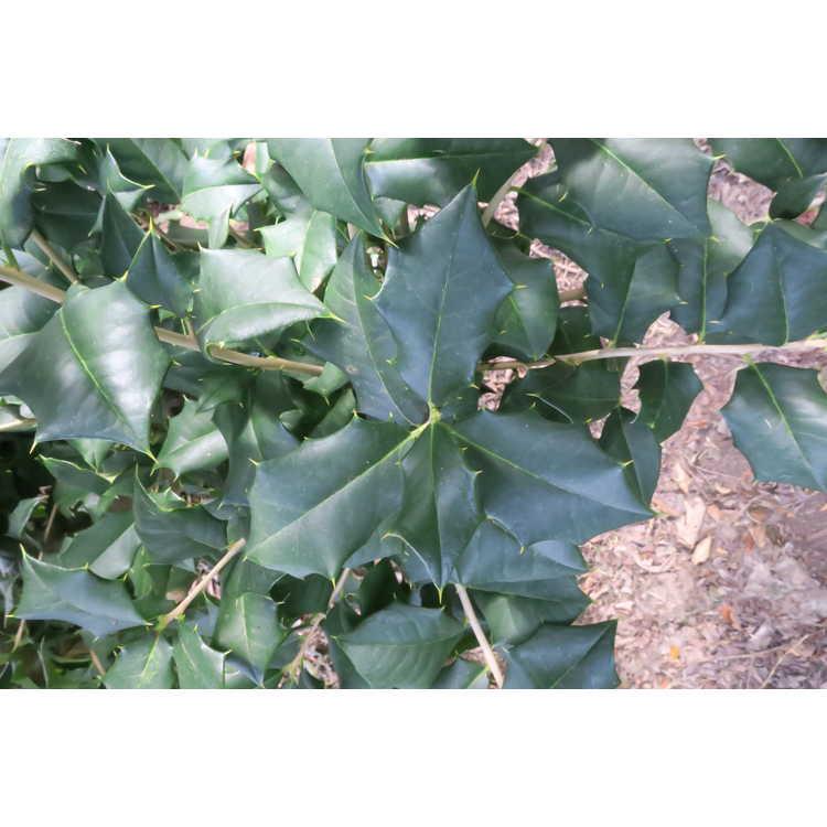 Ilex opaca f. xanthocarpa 'Longwood Gardens'