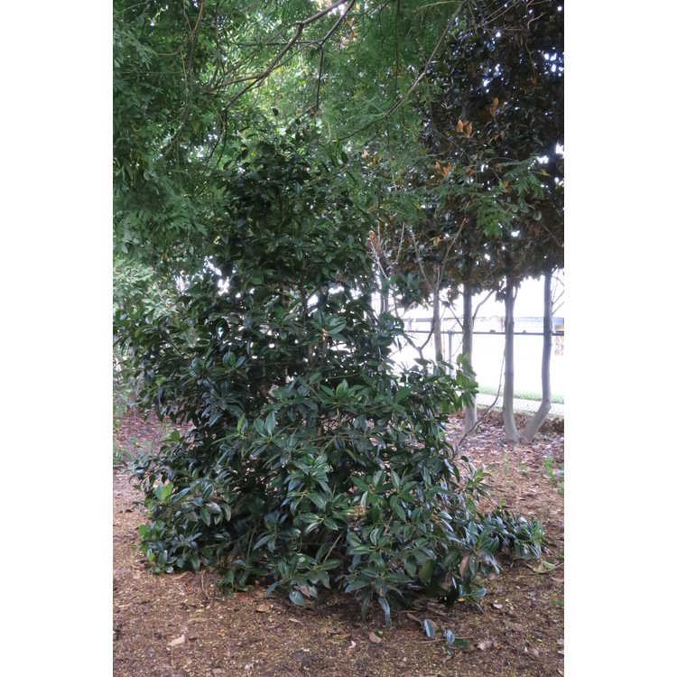 Ilex latifolia 'Purple Power' - lusterleaf holly