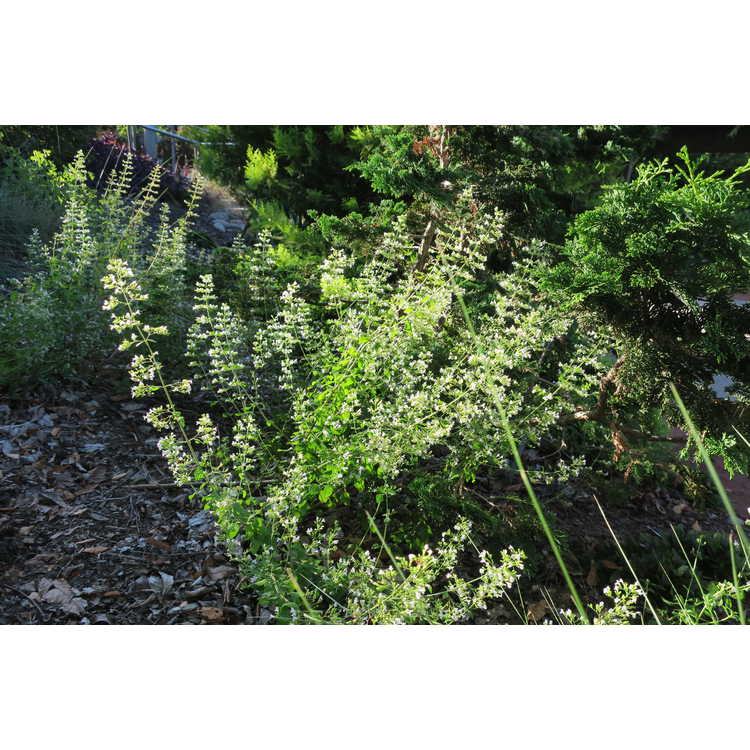 Clinopodium nepeta subsp. nepeta - lesser catmint