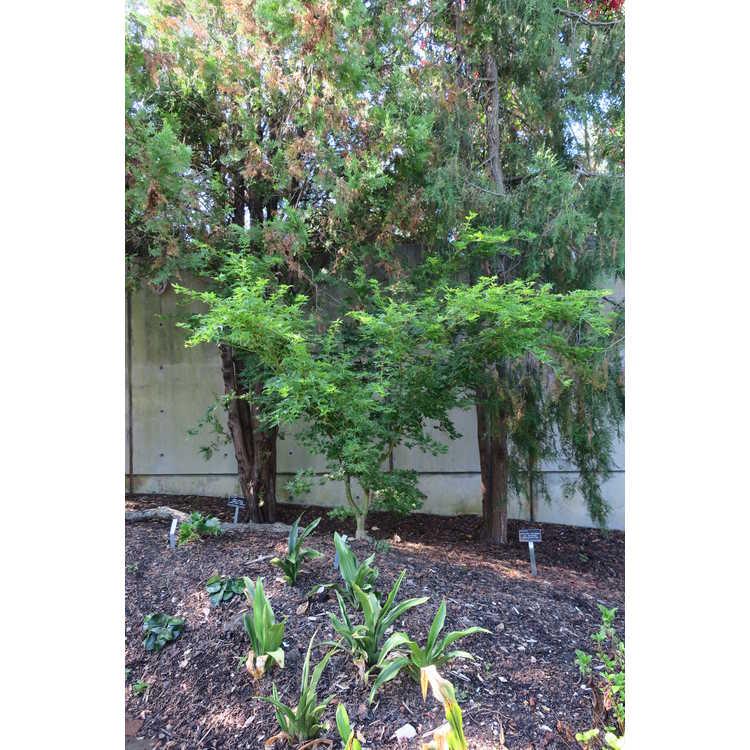 Acer palmatum 'Aka Kawa Hime'
