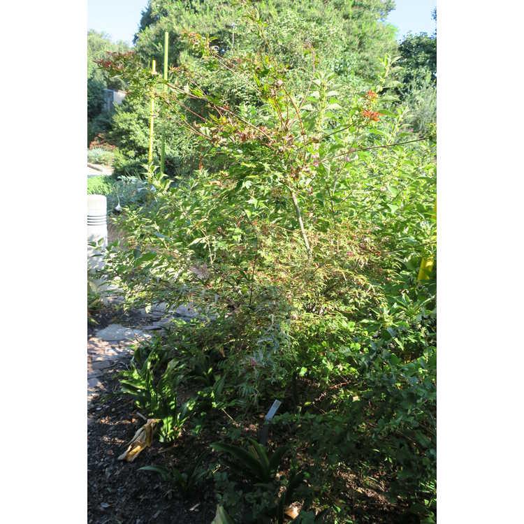 Acer palmatum 'Beni fushigi'