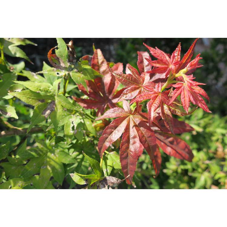 Acer palmatum 'Beni Hoshi'