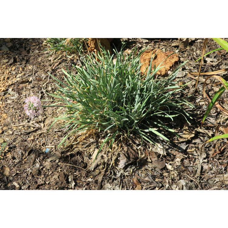 Allium senescens 'Glauca'
