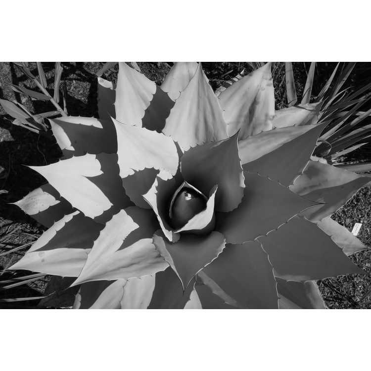 Agave ovatifolia 'Frosty Blue'