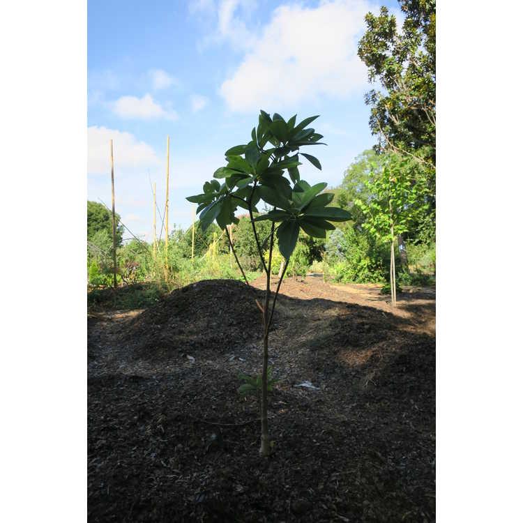 Magnolia 'Nimbus'