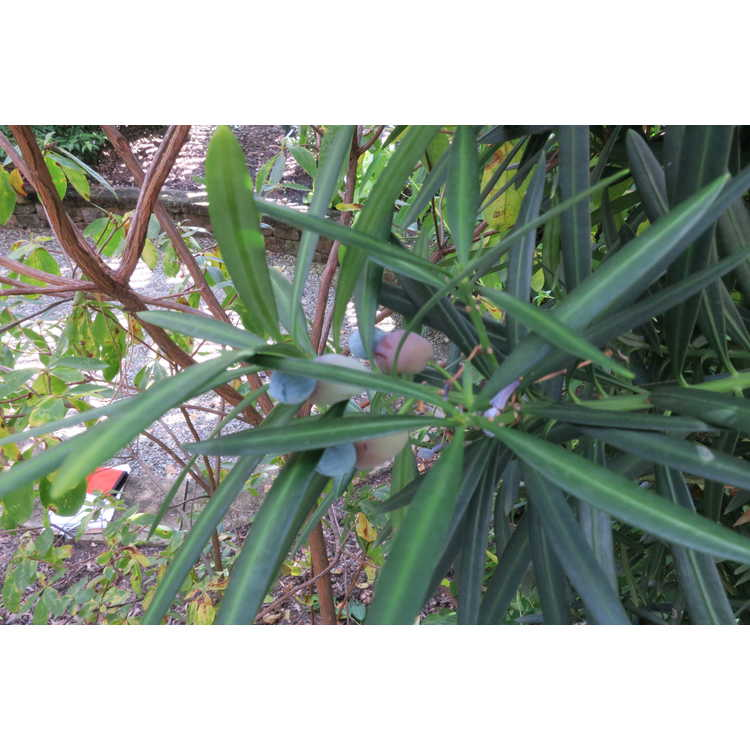 Podocarpus macrophyllus (hardy form)